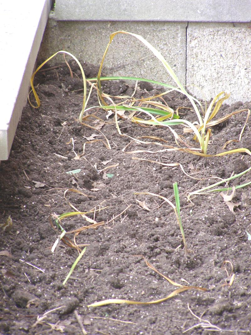 day lilies replanted.jpg